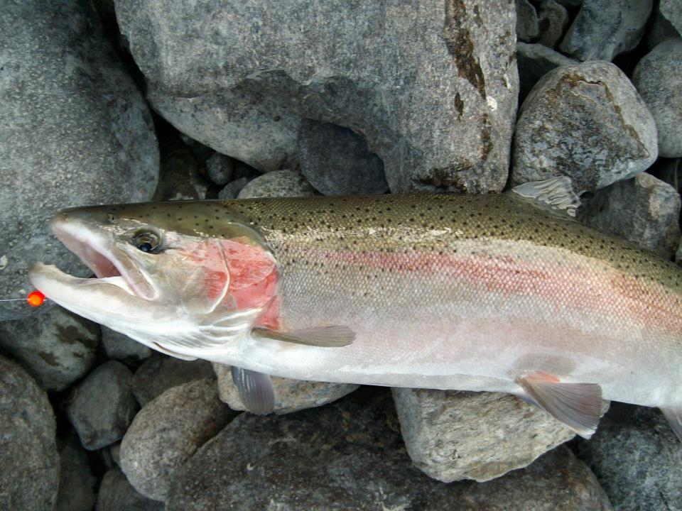 Steelhead and salmon pictures for Gustafson s smoked fish